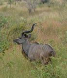 Kudu lizenzfreies stockbild