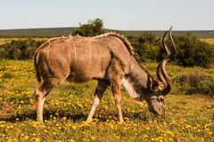 Kudu Imagem de Stock