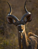 Kudu. Listening for danger in Kruger National Park, South Africa Stock Photography
