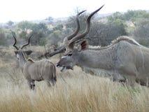 Kudu Image libre de droits