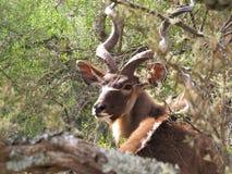 Kudu Photo stock