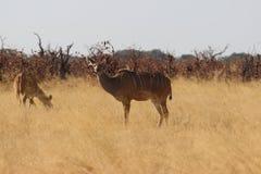 Kudu Стоковые Фото