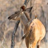 Kudu Royaltyfri Fotografi