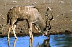 Kudu Immagine Stock Libera da Diritti