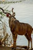 Kudu Fotos de archivo