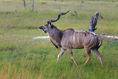 Kudu Fotografie Stock Libere da Diritti
