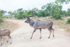 Kudu Foto de Stock Royalty Free