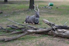 Kudu Στοκ εικόνα με δικαίωμα ελεύθερης χρήσης