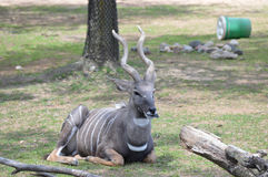 Kudu Στοκ φωτογραφίες με δικαίωμα ελεύθερης χρήσης
