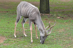Kudu Στοκ φωτογραφία με δικαίωμα ελεύθερης χρήσης