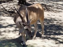 Kudu стоковое изображение