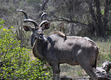 Kudu with an accompanying bird Royalty Free Stock Photo