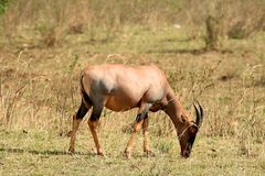 Kudu animal feeding Royalty Free Stock Photo