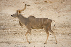 Kudu antelope  Stock Photo