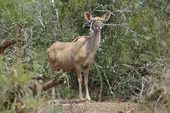 Kudu antelope. Koedoe female antelope watching other antelopes in the South African bushes in a game park Royalty Free Stock Photography