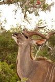 Kudu Antelope Royalty Free Stock Image