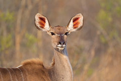 Kudu antelope Royalty Free Stock Photo