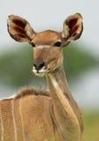 Kudu antelope. Portrait of a female Kudu antelope (Tragelaphus strepsiceros), Kruger National Park, South Africa royalty free stock photography