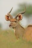 Kudu antelope. Portrait of a male Kudu antelope (Tragelaphus strepsiceros), Kruger National Park, South Africa stock images