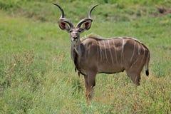 Kudu antelope royalty free stock images