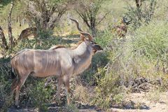 Kudu Antelope - Africa's Grey Ghost of the Bush Royalty Free Stock Photography