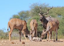 Kudu Antelope - An African Family. A Kudu antelope family, with one bull and three cows, posing at a watering hole and licking salt rock.  Photo taken in Namibia Stock Photo