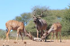 Kudu Antelope - An African Family and Salt Royalty Free Stock Photo