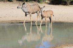 Kudu Antelope - African Moms, Reflections And Wildlife Stock Photo