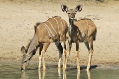 Kudu Antelope - African Wildlife - Animal Babies and Innocence Stock Image