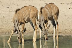 Kudu Antelope - African Wildlife - Animal Babies Stock Photography