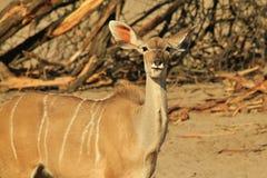 Kudu Antelope - African Wildlife Background - Largest Ears on the Block Stock Images