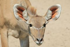 Kudu Antelope - African Wildlife - The best listener in the world with Saucer ears. Royalty Free Stock Photo