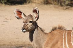 Kudu Antelope - African Wildlife - Calf Interest and Curiosity Stock Images