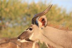 Kudu Antelope - African Wildlife - Young Bull Flare Stock Photo