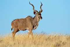 Kudu antelope against a blue sky stock photography