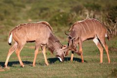 Kudu Antelope Battle. Two male kudu antelope with horns intertwined in a fight for dominance royalty free stock photography