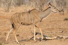 Kudu antelope and bird Royalty Free Stock Image
