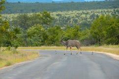 Kudu antelope crossing road in Kruger national park Royalty Free Stock Photo