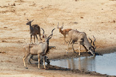 Kudu Antelope drinking at a muddy waterhole Royalty Free Stock Photo
