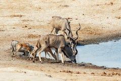 Kudu Antelope drinking at a muddy waterhole. Kudu Antelope and other animal drinking at a muddy waterhole, Hwankee national Park, Botswana. Safari wildlife Stock Images