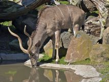 Kudu antelope drinking water Stock Images