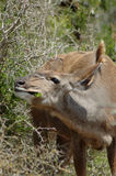 Kudu antelope eating leaves. Female Kudu antelope eating leaves from bush outdoors Royalty Free Stock Photography