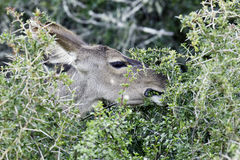 Kudu antelope eating leaves Stock Photos