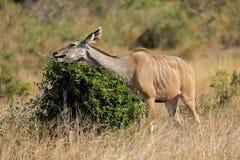 Kudu antelope feeding Royalty Free Stock Image