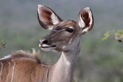 Kudu Antelope Female Royalty Free Stock Photo