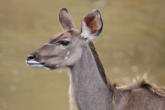 Kudu Antelope Female Stock Images