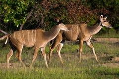 Kudu Antelope. These female kudu antelope were enjoying the early morning sunshine stock photo
