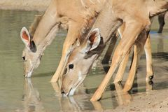 Kudu Antelope Females - African Wildlife - Quenching Thirst Stock Images