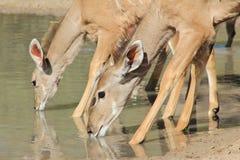 Kudu Antelope Females - African Wildlife - Quenching Thirst stock images