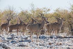 Kudu antelope group Royalty Free Stock Images